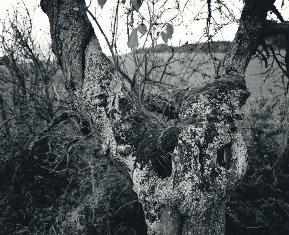 Stará třešeň